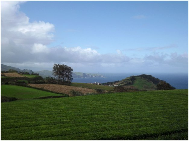 A tea plantation at Gorreana, on the north coast of the island.